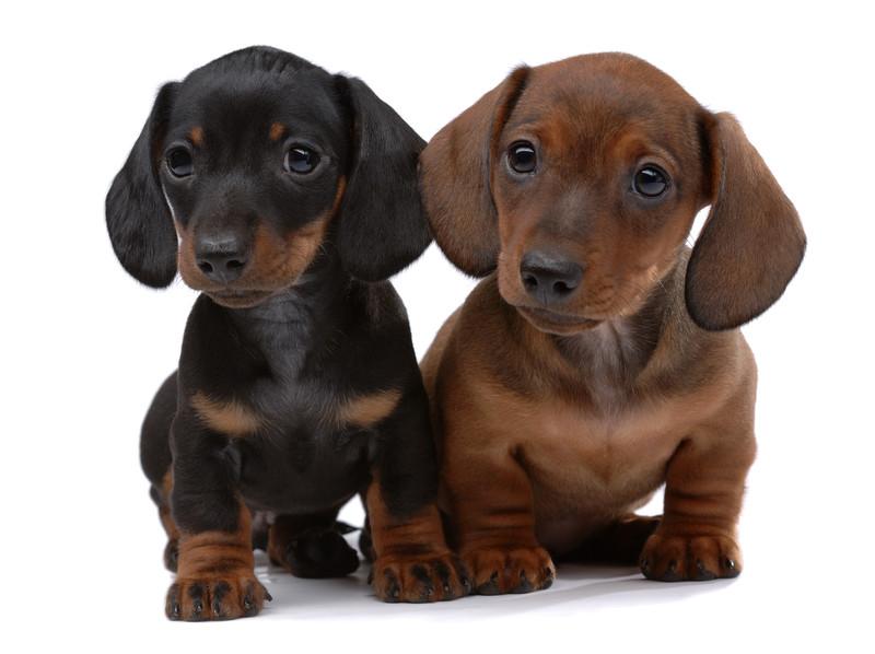 Golden Wiener Dog For Sale Uk